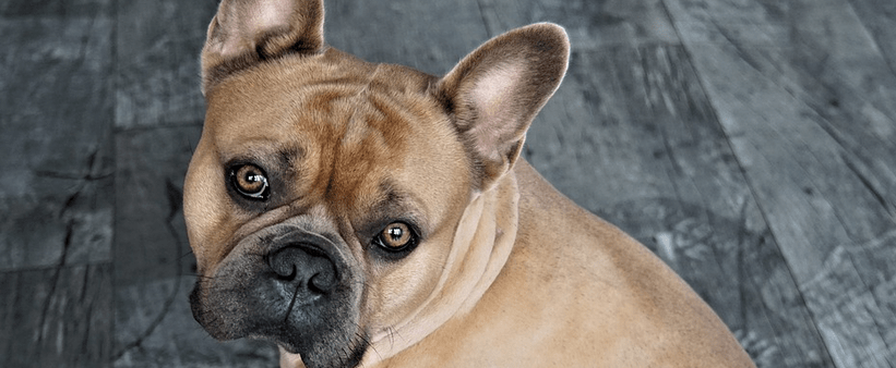 Financing For Your French Bulldog